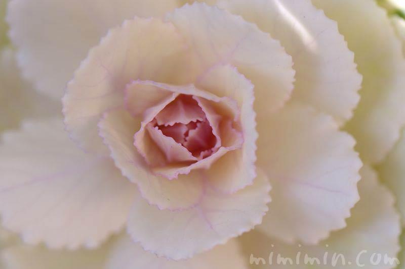 白い葉牡丹の画像