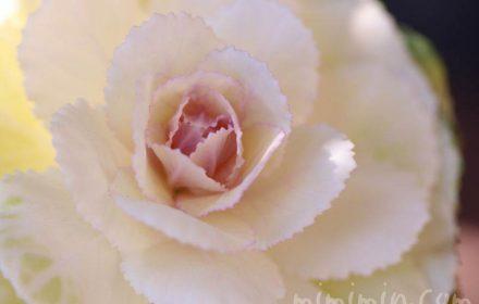 葉牡丹・白の写真