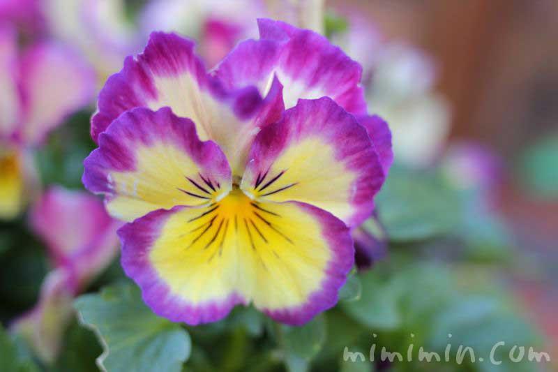 パンジーの花の写真 紫×黄