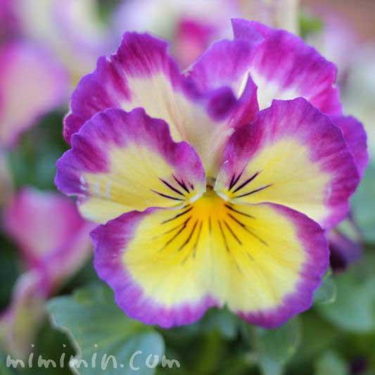 パンジー 紫×黄の画像