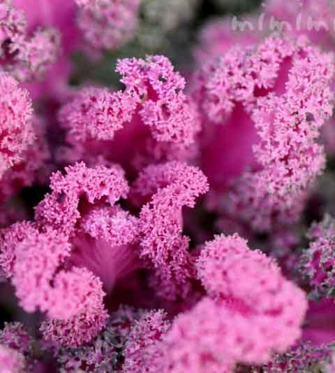 ハボタン(葉牡丹)|植物の写真・花言葉