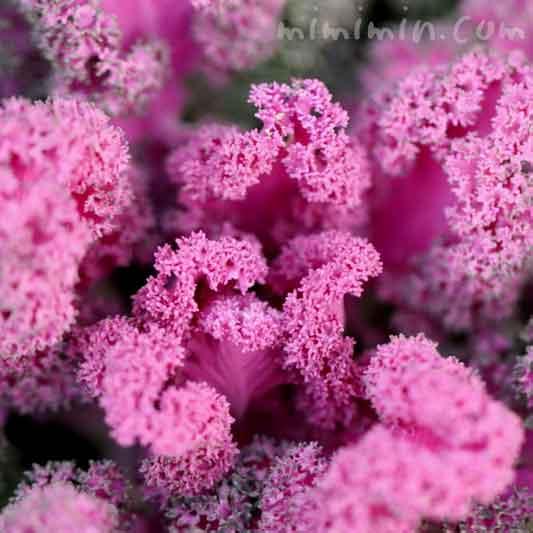 葉牡丹・バニーの写真