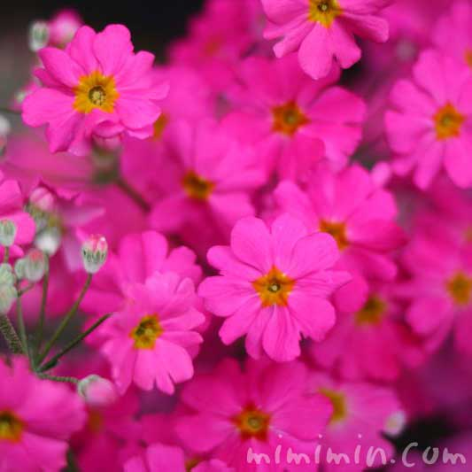 プリムラ マラコイデス・乙女桜の写真