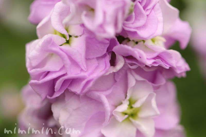 紫のストックの画像