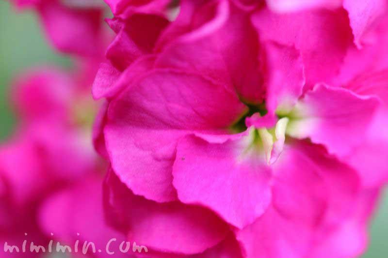 ストックの花の写真 濃いピンク