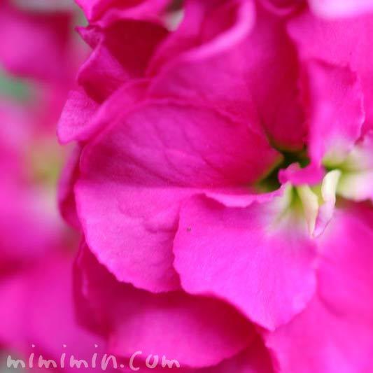 ストック 濃いピンクの画像