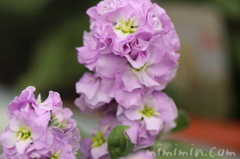 紫のストックの花の画像