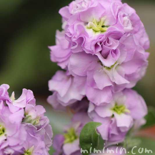 ストック 紫の画像