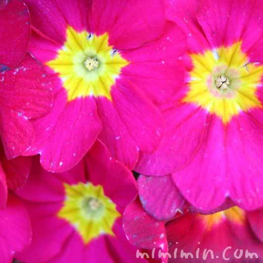 プリムラポリアンサ濃いピンクの写真