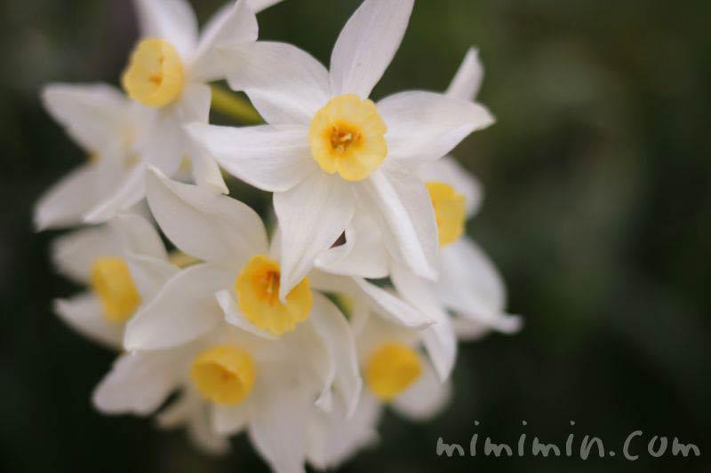 白い水仙の画像