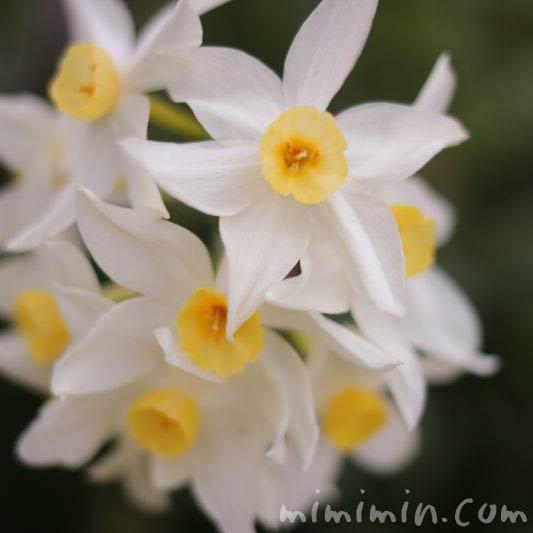 白い水仙(希望のシンボル)の画像