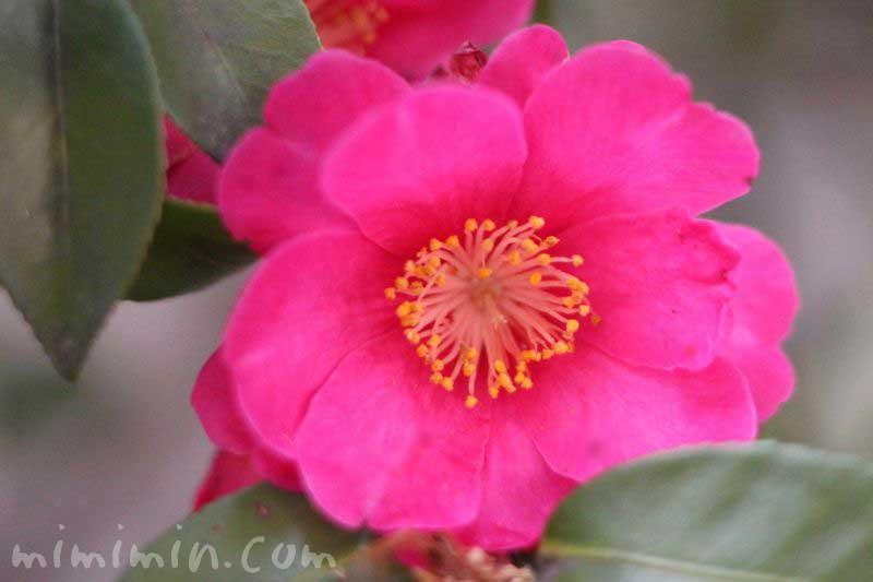 山茶花(サザンカ・濃いピンク)の画像