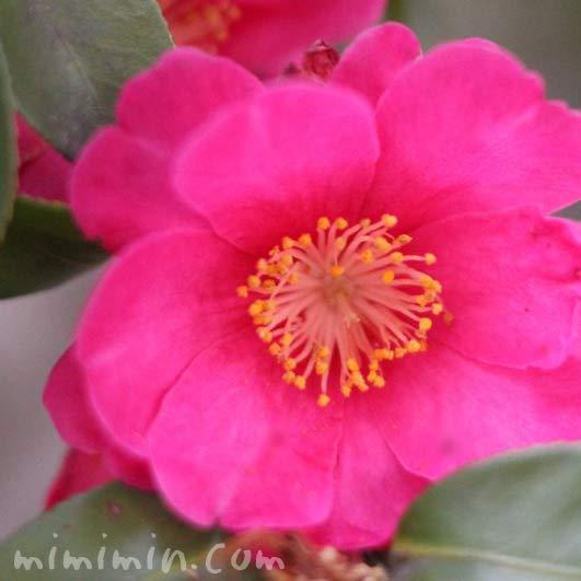 山茶花(サザンカの花・濃いピンク)の写真