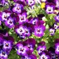 パンジー・紫色の画像