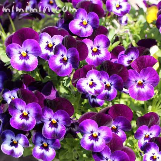 パンジーの花の写真・紫色