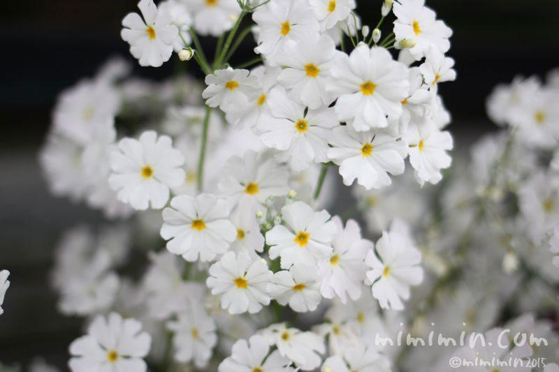 白いプリムラ マラコイデスの写真