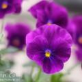 紫のパンジーの写真