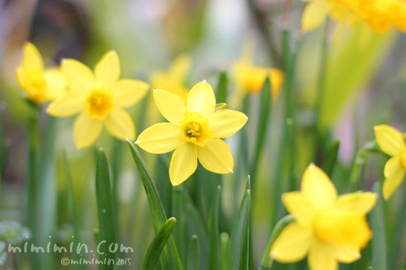 黄色の水仙の写真