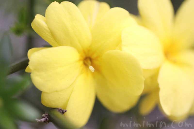 黄梅の花の写真と花言葉