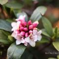 ジンチョウゲ(沈丁花)の写真