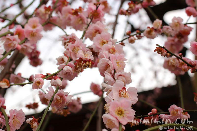 枝垂れ梅の画像3