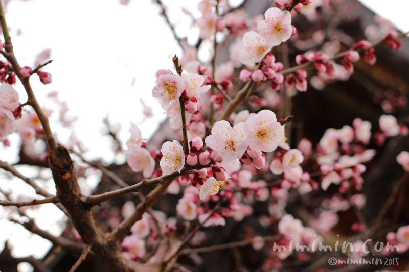 ピンク色の梅の花の写真2