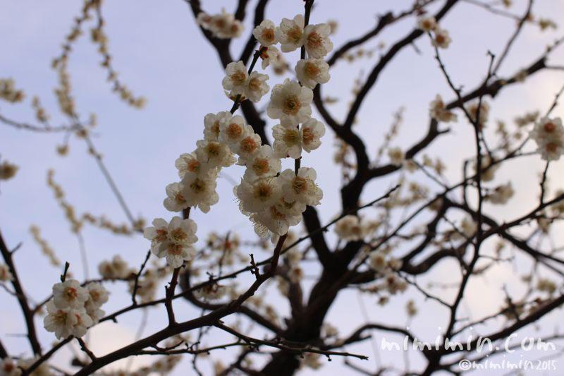 白梅の写真2