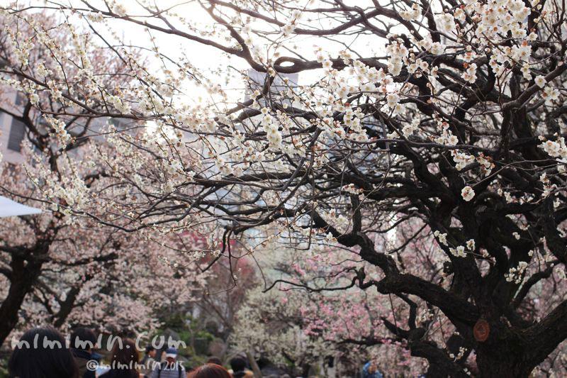 湯島天満宮の梅の写真