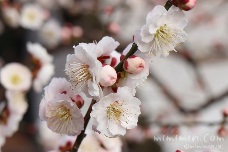 梅の花(湯島天満宮)の写真
