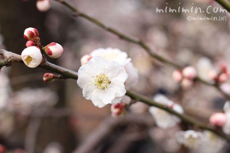 白梅の写真5