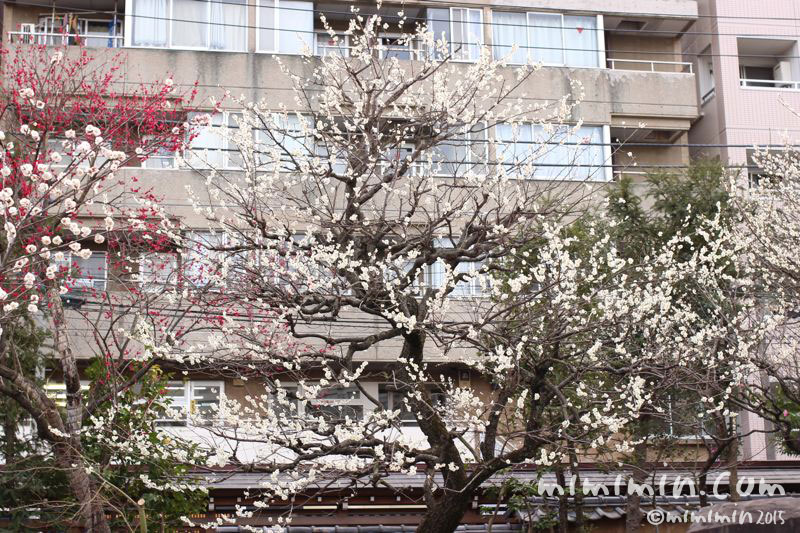 湯島天満宮の梅の写真2