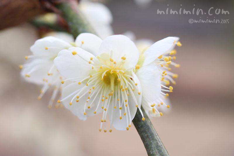 白梅の写真