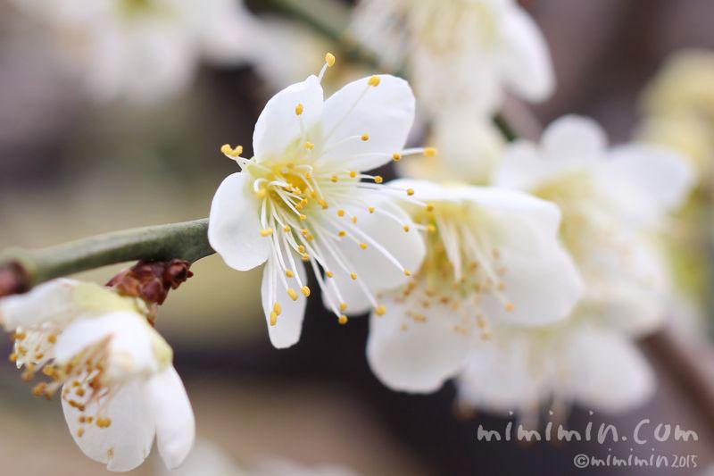 白梅の写真3