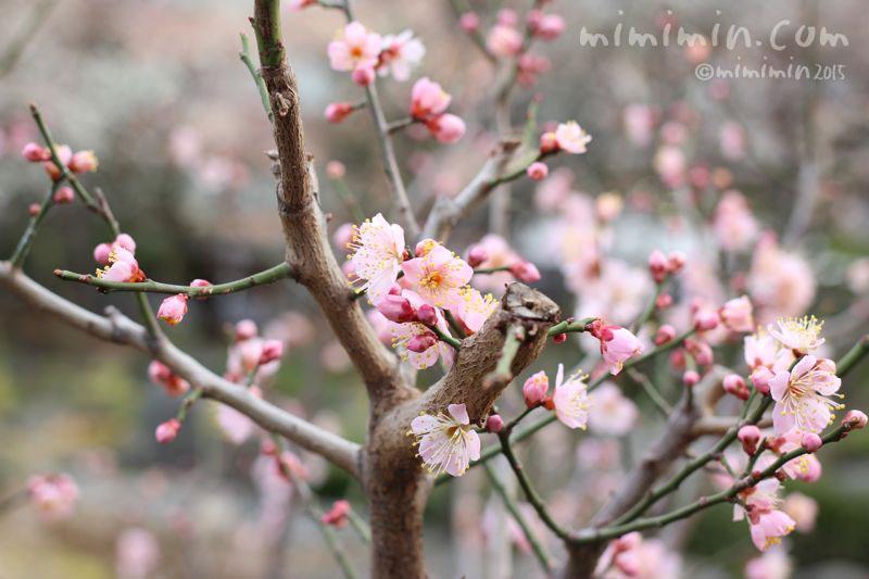 ピンク色の梅の花の写真3