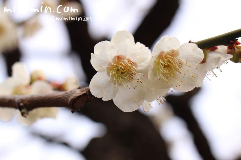 白梅の写真4