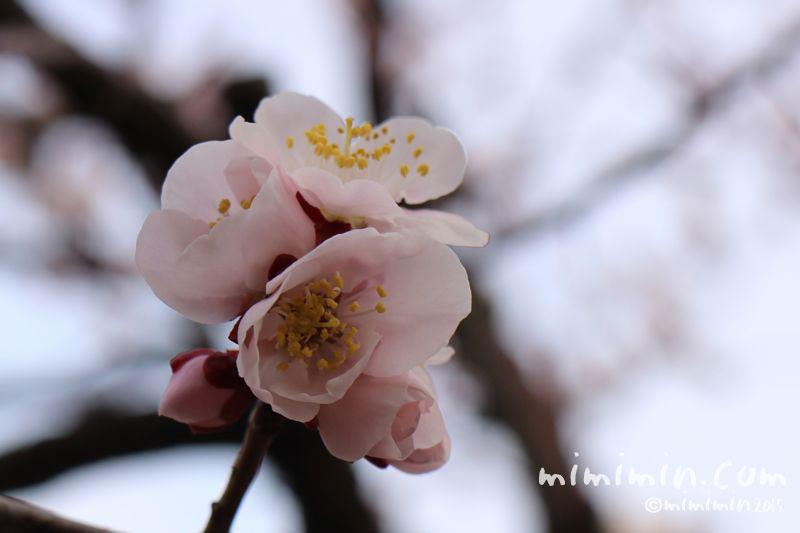 ピンク色の梅の花の写真5