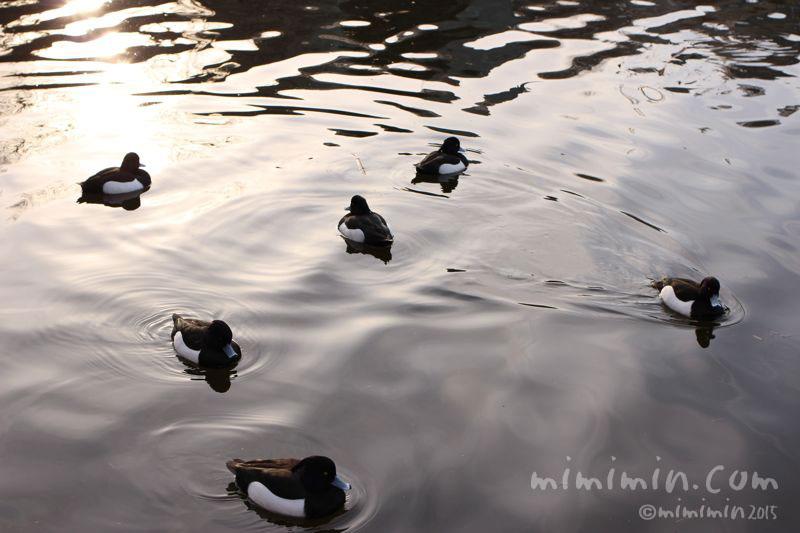 キンクロハジロ(不忍池)の写真4