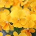 パンジー(黄色)の画像