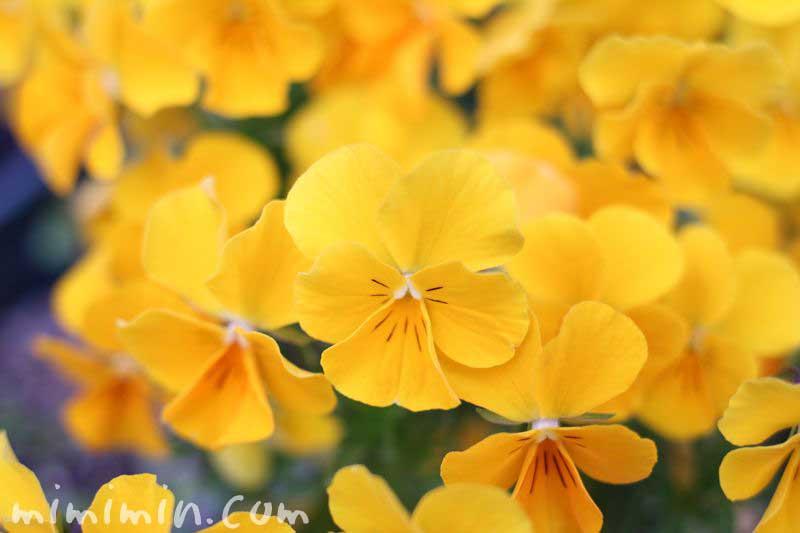 パンジーの花の写真・黄色