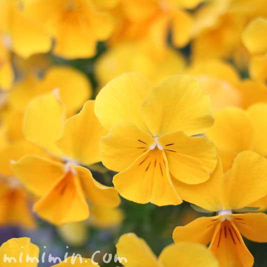 パンジー・黄色の画像