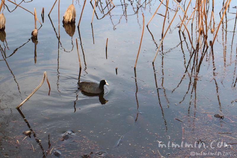 オオバン(不忍池)の写真