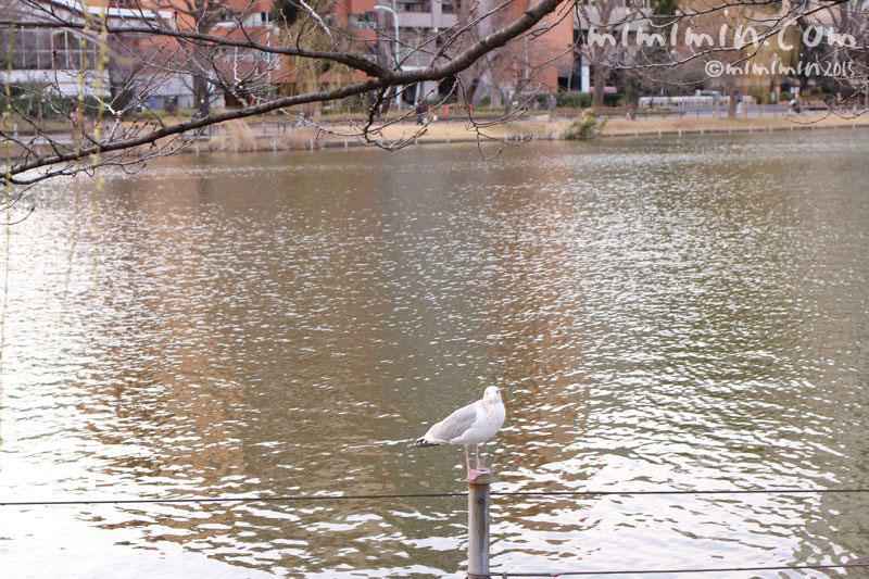 ユリカモメ(不忍池)の写真