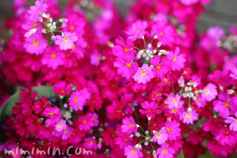 プリムラ・マラコイデス 濃いピンクの画像