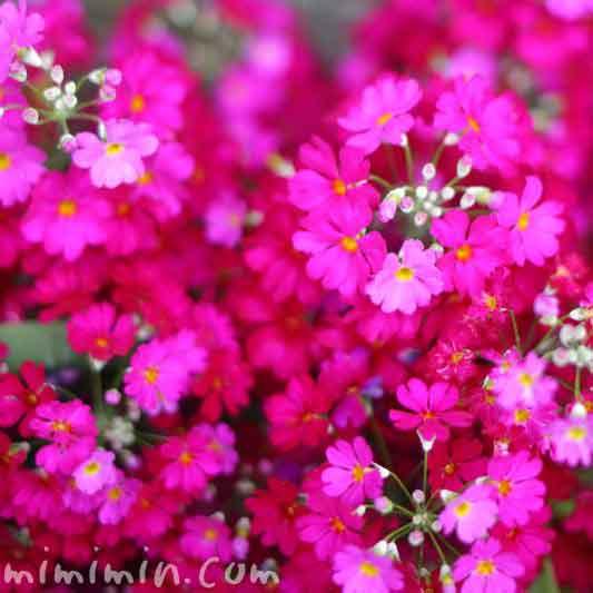 プリムラ・マラコイデスの花 濃いピンクの写真