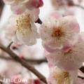 梅 (うめ)白とピンクの斑の画像