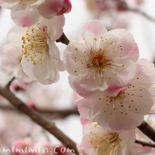 白とピンクの斑の梅の花の写真