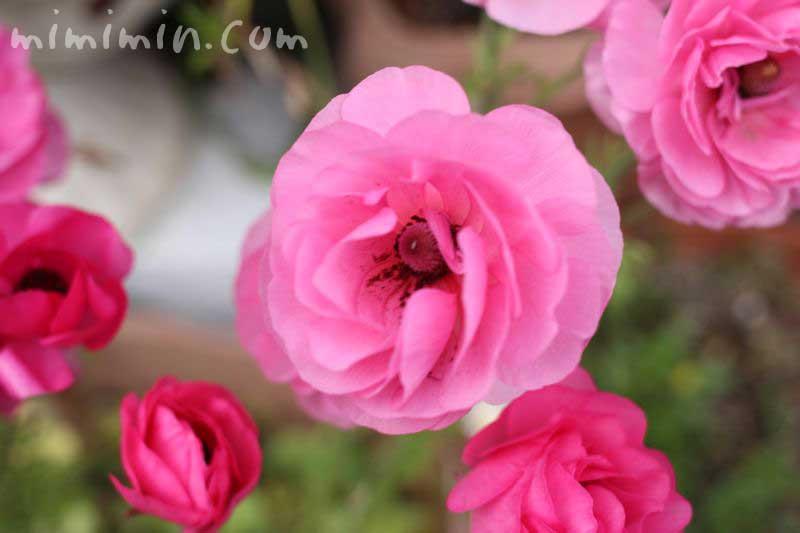 アネモネ・ピンク色の写真