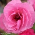 アネモネの花・ピンク色の画像