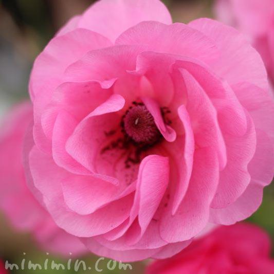 アネモネ・ピンクの画像