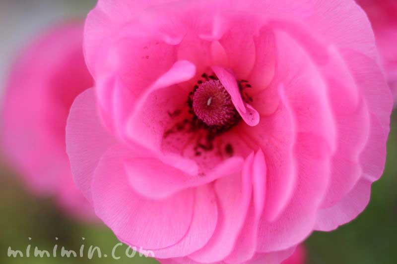 アネモネの花・ピンクの写真